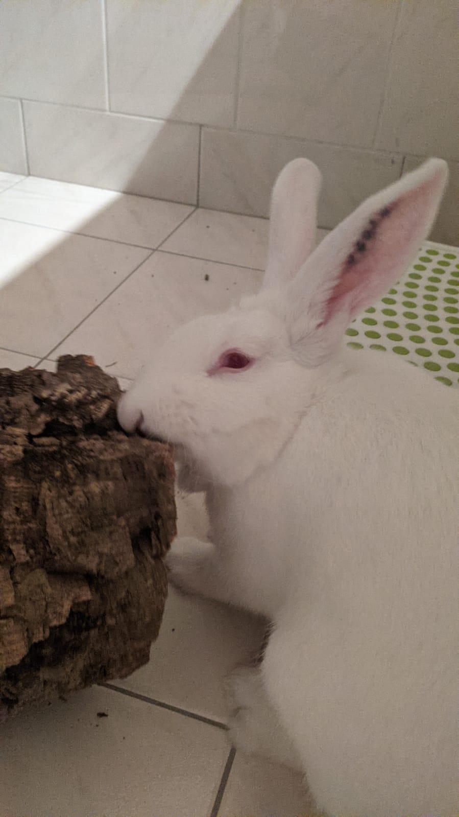 [White Rabbit]Lapins réhabilités de laboratoire à parrainer  - Page 2 Photo_58