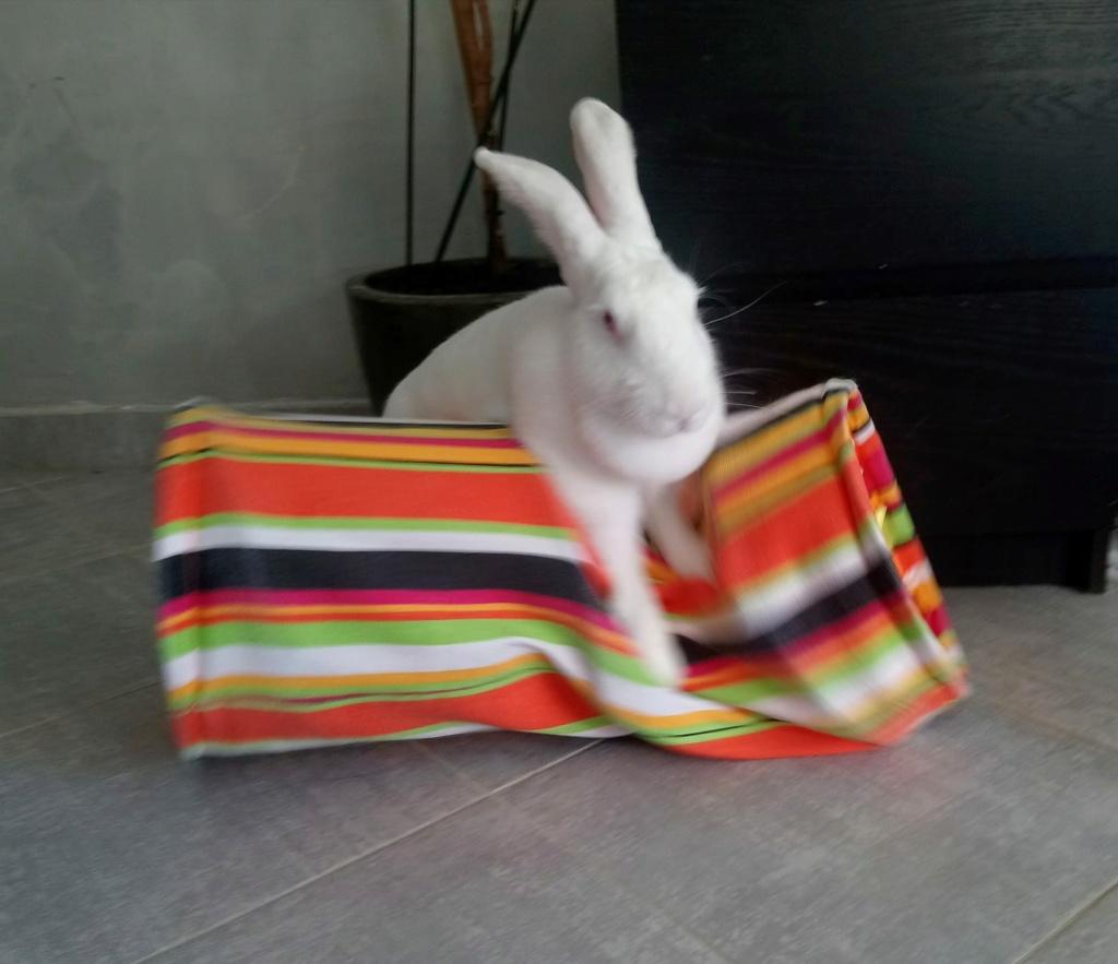 [White Rabbit]Lapins réhabilités de laboratoire à parrainer  - Page 2 Photo_78