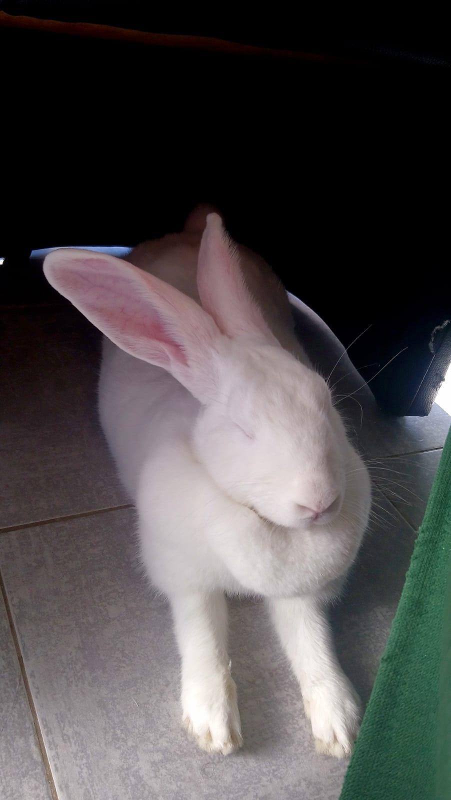 [White Rabbit]Lapins réhabilités de laboratoire à parrainer  - Page 2 Photo_80