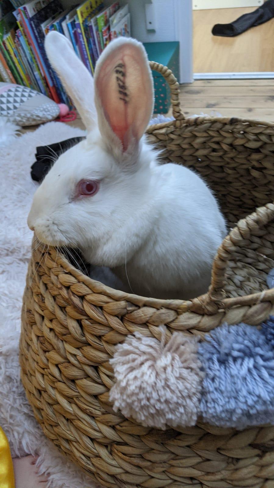 [White Rabbit]Lapins réhabilités de laboratoire à parrainer  - Page 2 Photo_81