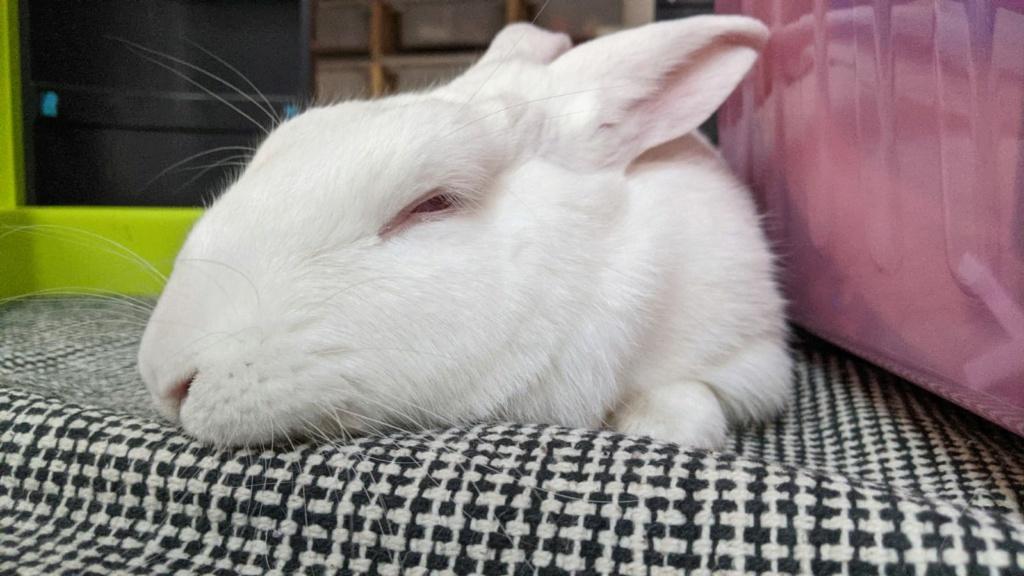 [White Rabbit]Lapins réhabilités de laboratoire à parrainer  - Page 2 Photo_82