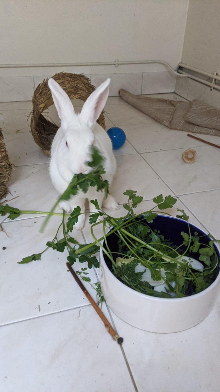 [White Rabbit]Lapins réhabilités de laboratoire à parrainer  - Page 2 Photo_83