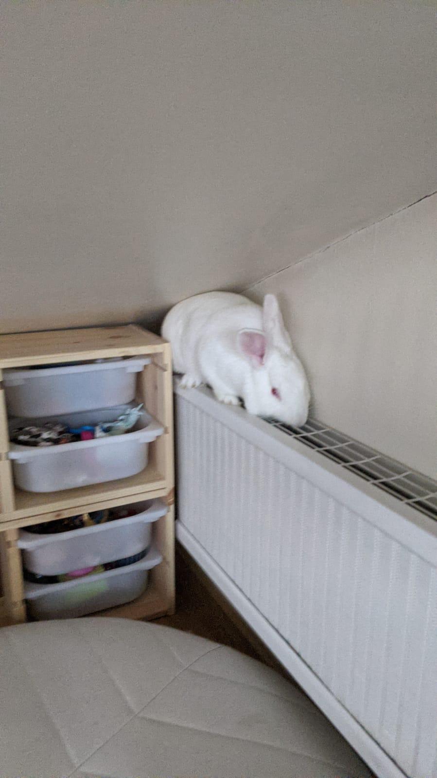 [White Rabbit]Lapins réhabilités de laboratoire à parrainer  - Page 2 Photo_86