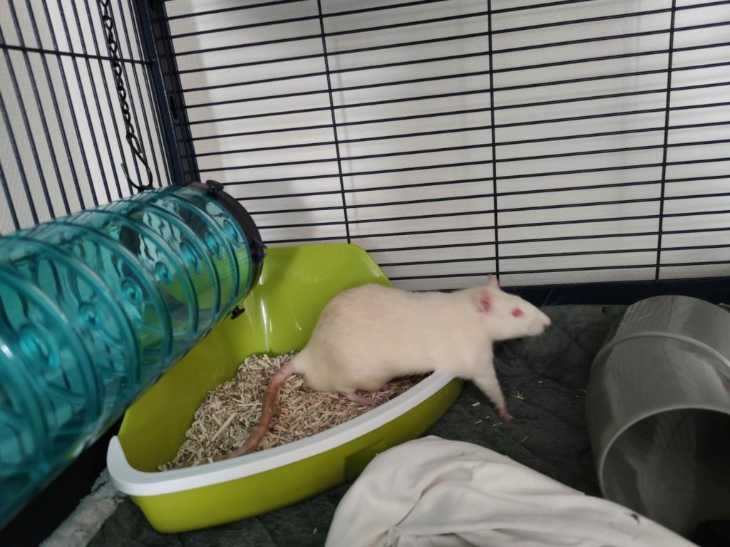 [A adopter] Ramon et Pépito, rats mâles réhabilités de laboratoire Ramono10