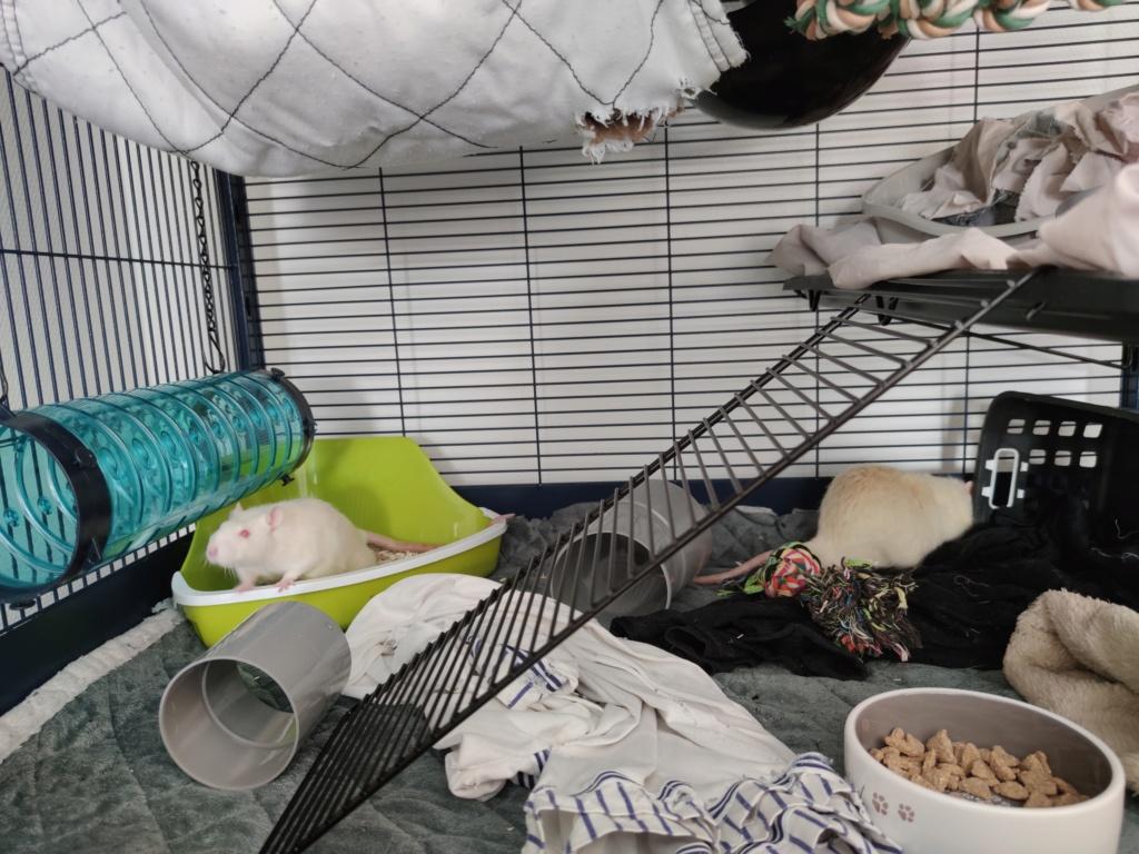 [A adopter] Ramon et Pépito, rats mâles réhabilités de laboratoire Ramonp11