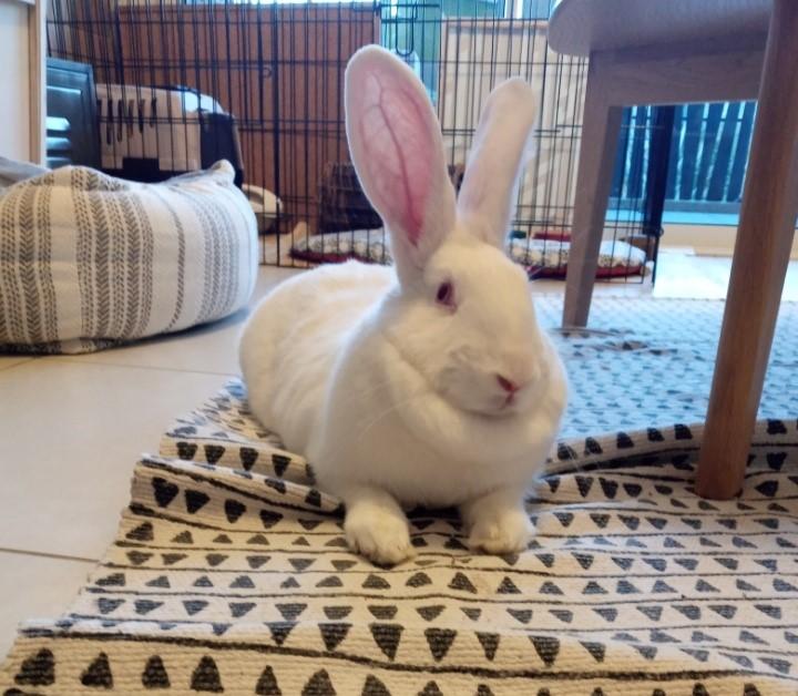[White Rabbit]Lapins réhabilités de laboratoire à parrainer  - Page 2 Resize17