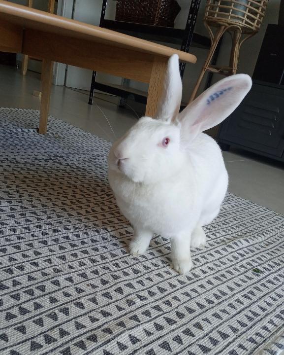 [White Rabbit]Lapins réhabilités de laboratoire à parrainer  - Page 2 Resize22