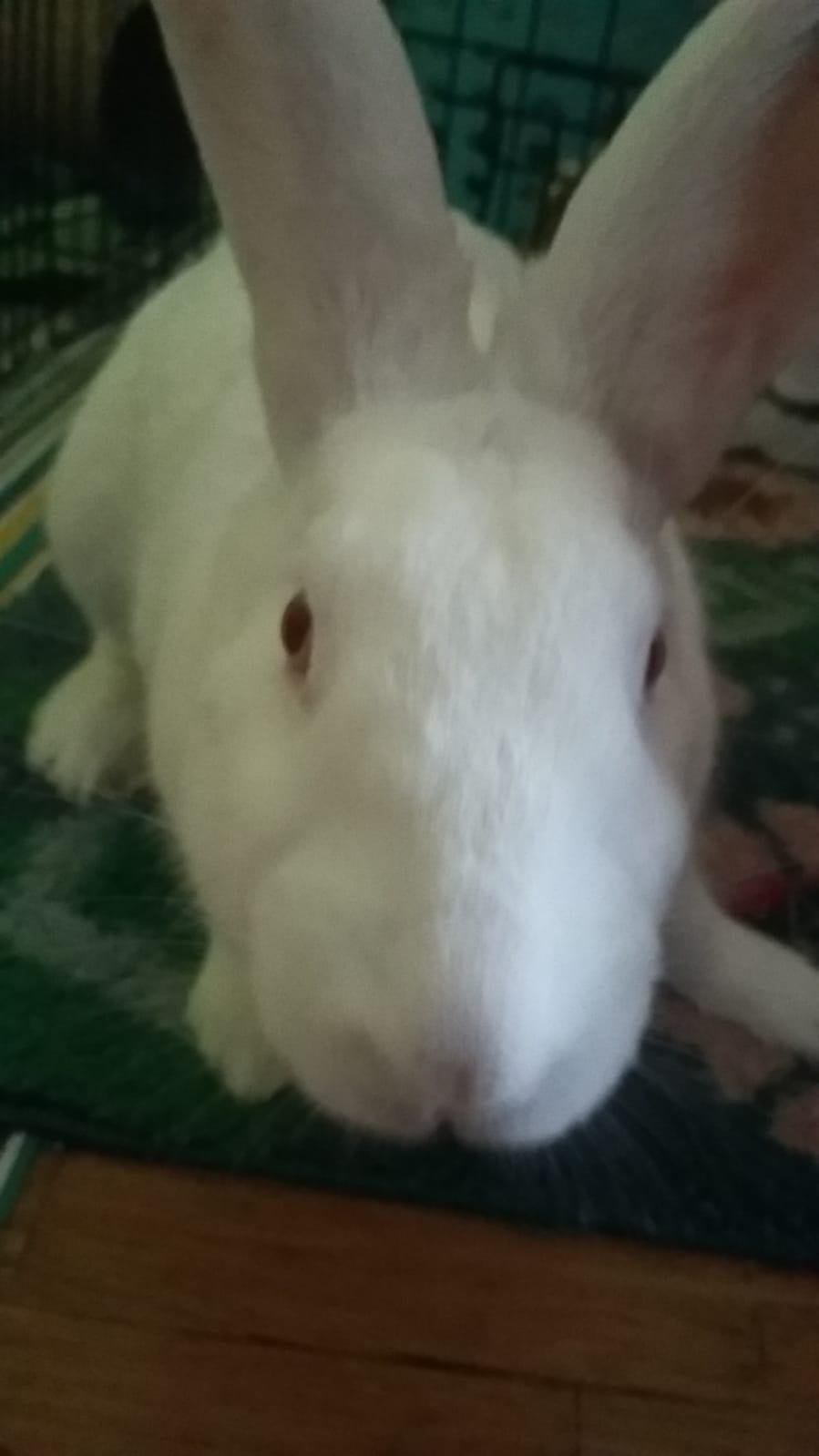 [White Rabbit]Lapins réhabilités de laboratoire à parrainer  - Page 2 Whatsa12