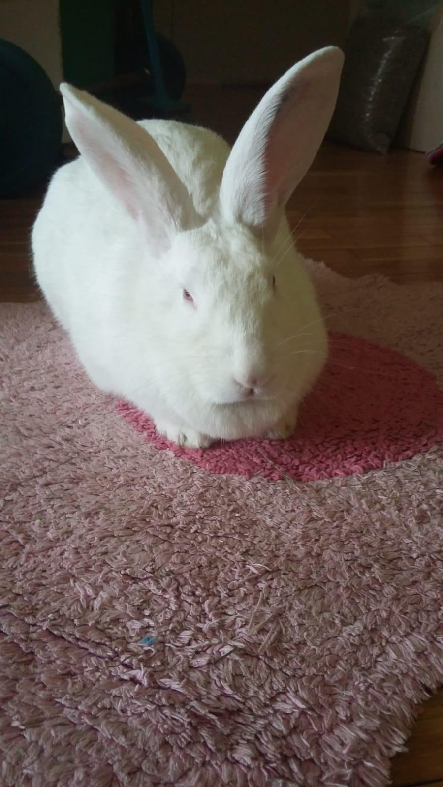 [White Rabbit]Lapins réhabilités de laboratoire à parrainer  - Page 2 Whatsa14