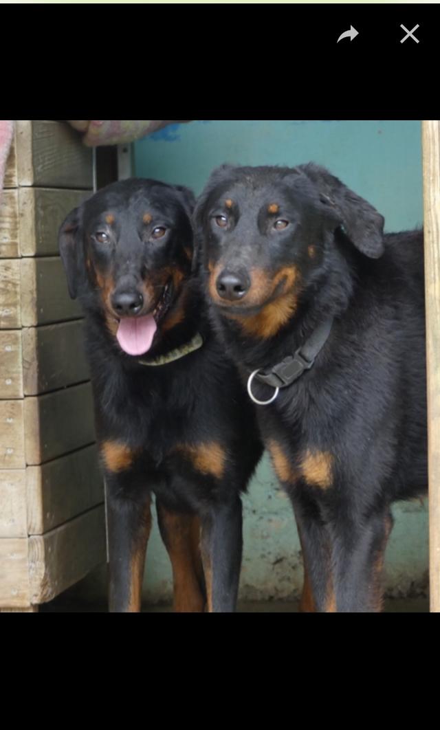 Menhir et Merlin deux mâles beaucerons nés en 2016 E5708710