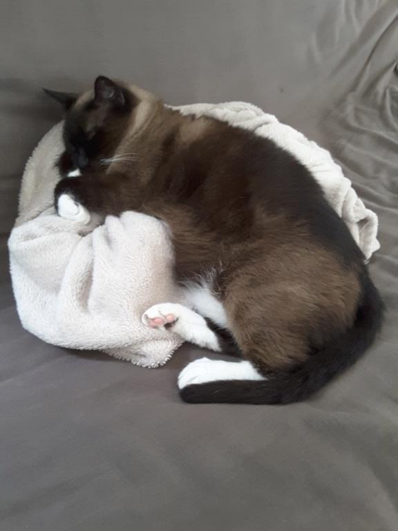 Gringo, chat croisé siamois fauve et blanc, né en 2011 - Page 2 20180811