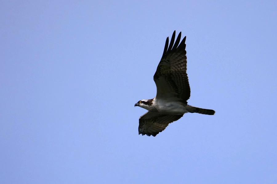 L'aigle pêcheur P1566911