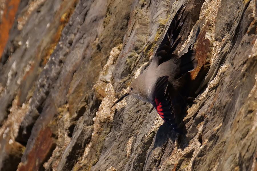 L'oiseau papillon ( Tichodrome échelette) P1592810