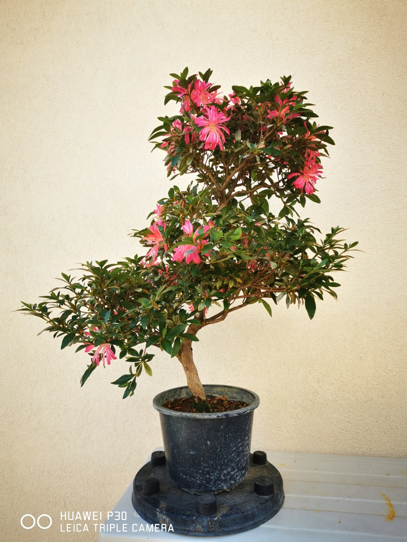 Rhododendron indicum - varietà Hanabin 2020_m13