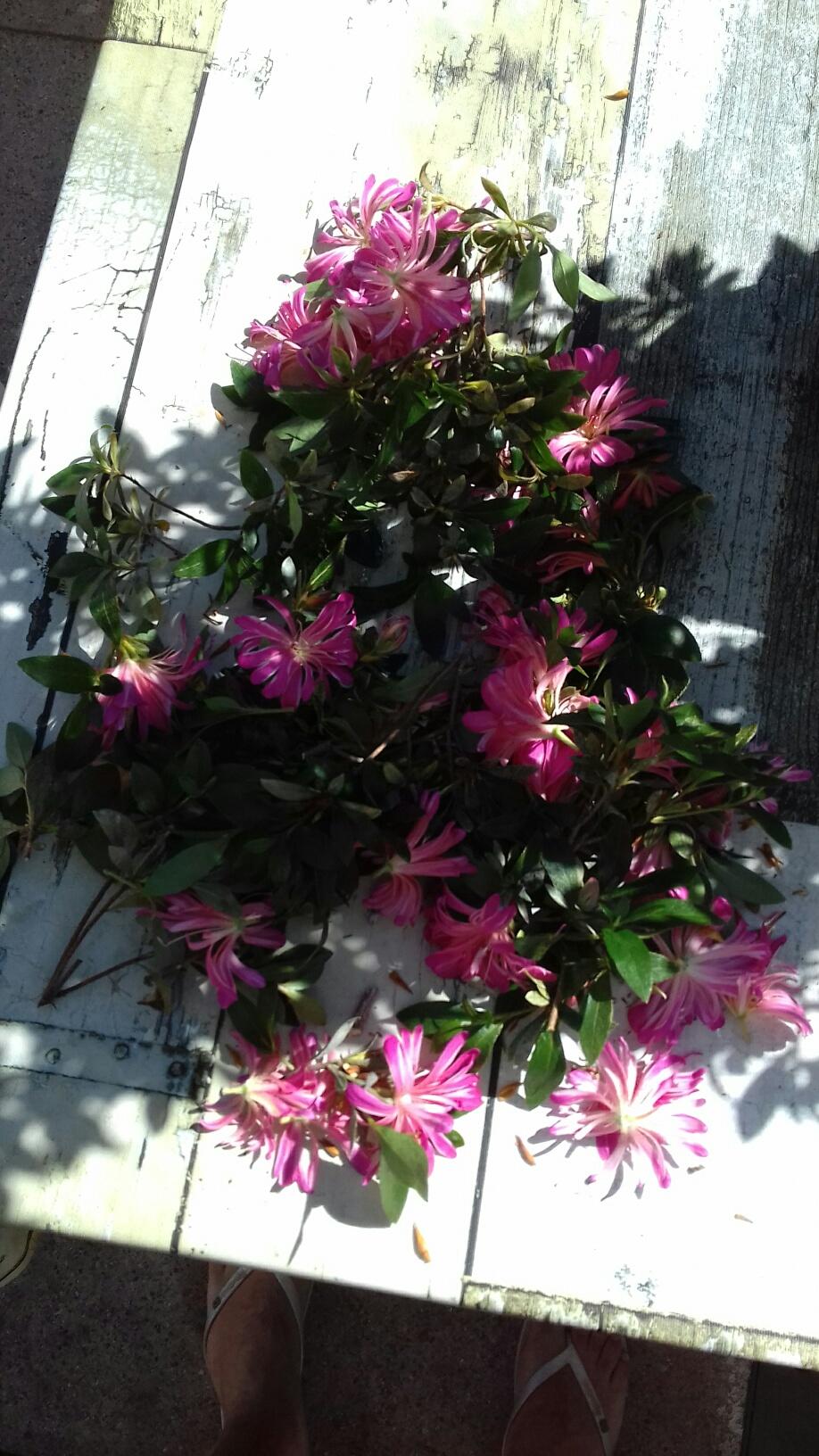 Rhododendron indicum - varietà Hanabin 2020_m14