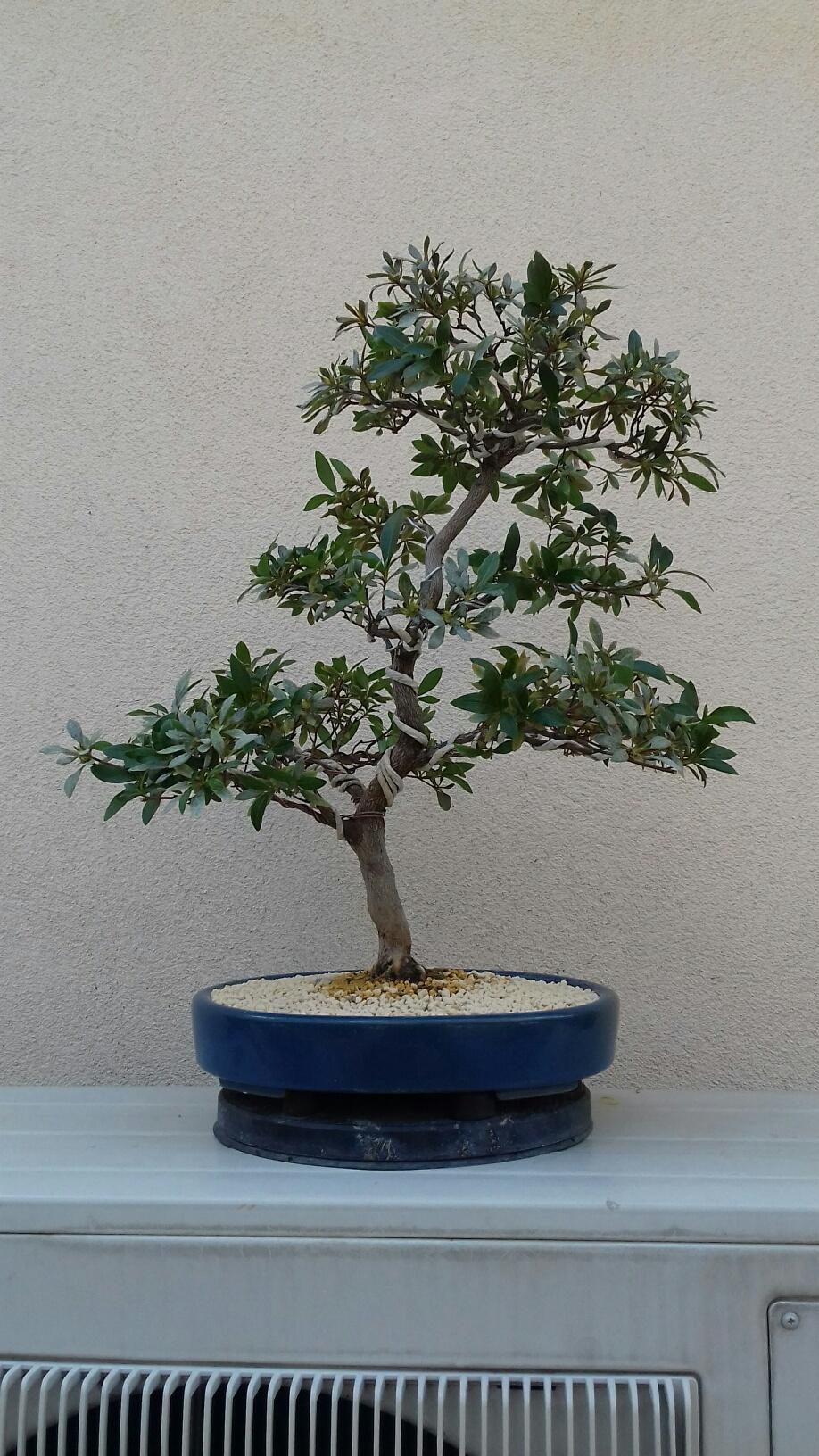 Rhododendron indicum - varietà Hanabin 2020_m15