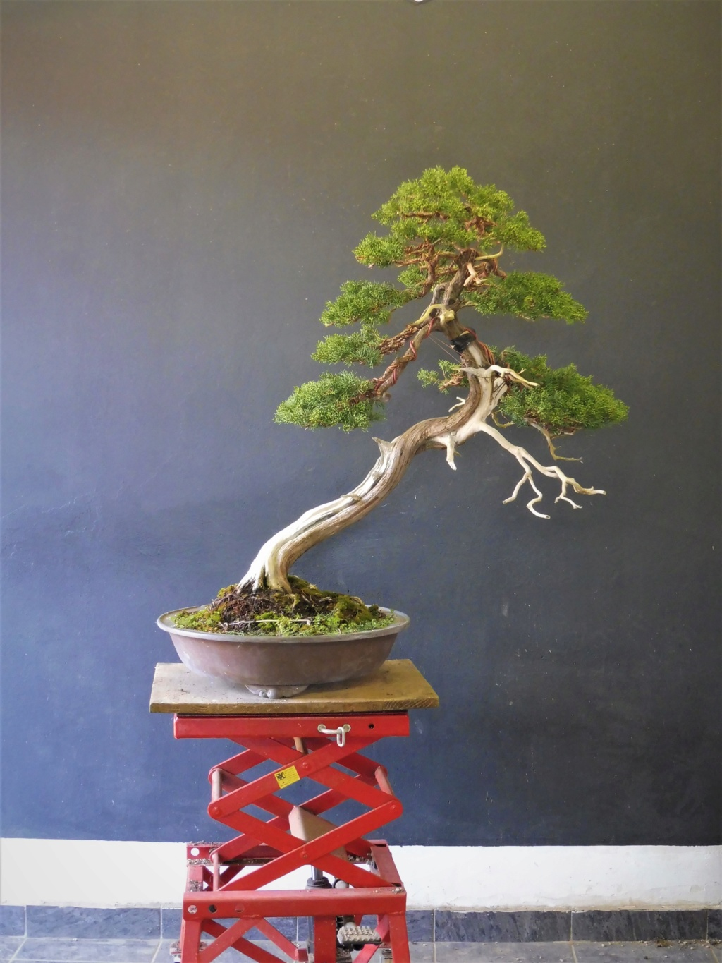 Juniperus Chinensis - to be continued After10