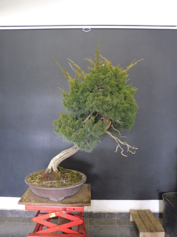 Juniperus Chinensis - to be continued Before10