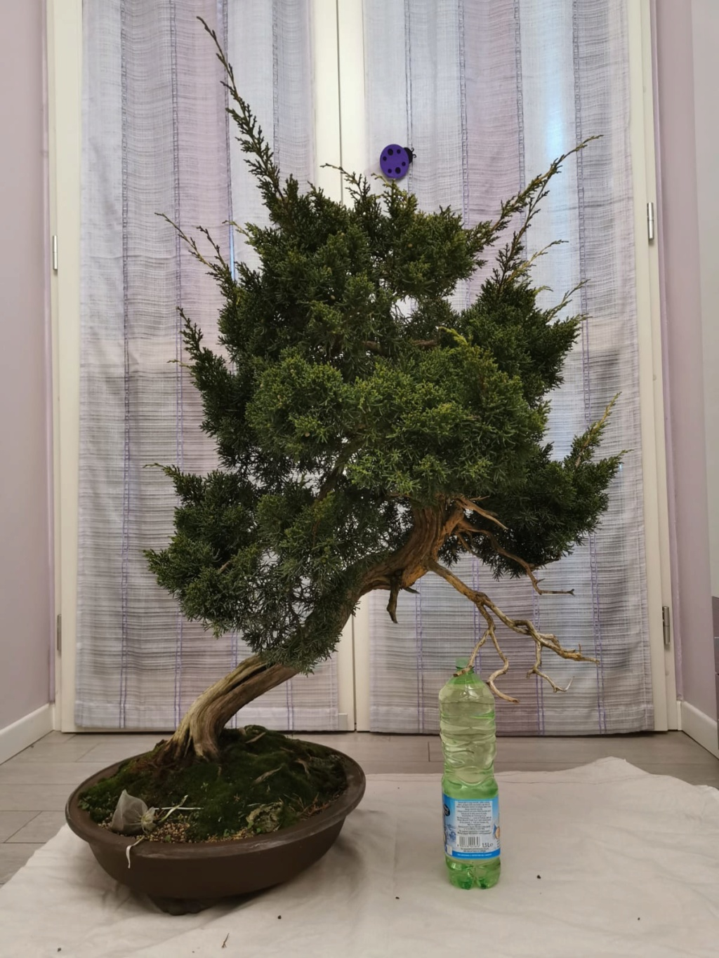 Juniperus Chinensis - to be continued Fronte11