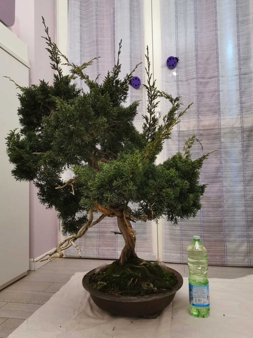 Juniperus Chinensis - to be continued Lato_d10