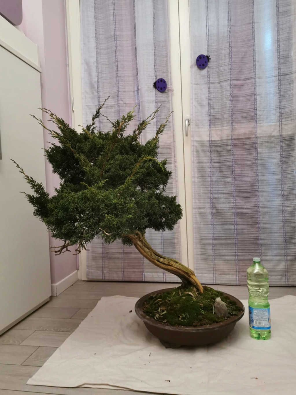 Juniperus Chinensis - to be continued Retro10
