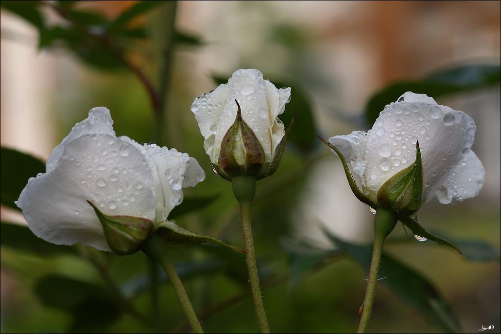 Roses blanches sous la pluie Lmb_1113