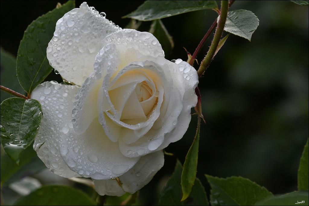 Roses blanches sous la pluie Lmb_1114