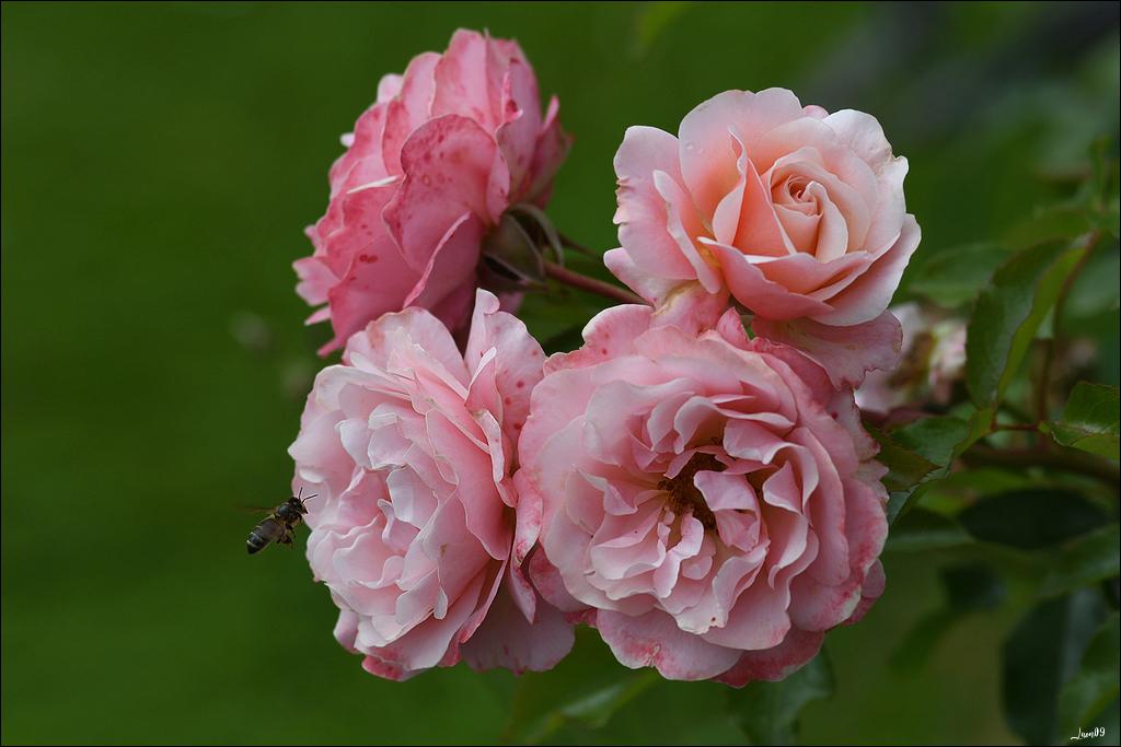 Accro aux roses Lmb_3211