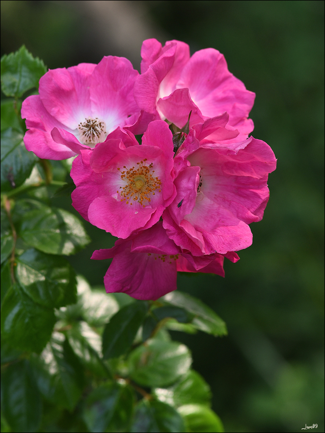 Un églantier des prés qui prend des airs de rosier Lmb_3611