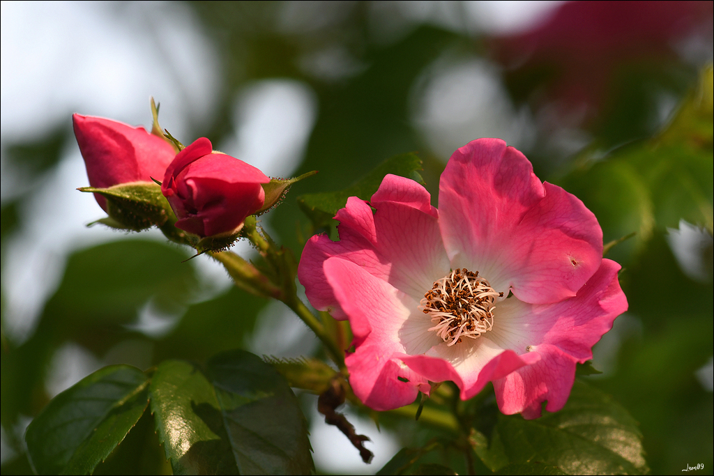 Un églantier des prés qui prend des airs de rosier Lmb_3612
