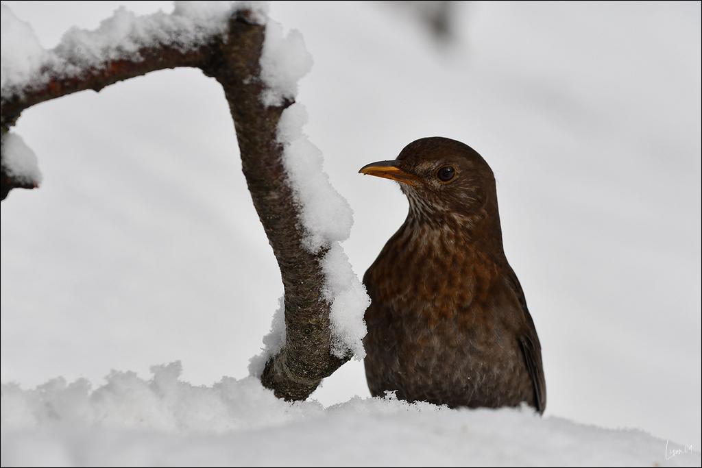 Dame merlette dans la neige Lmb_4717