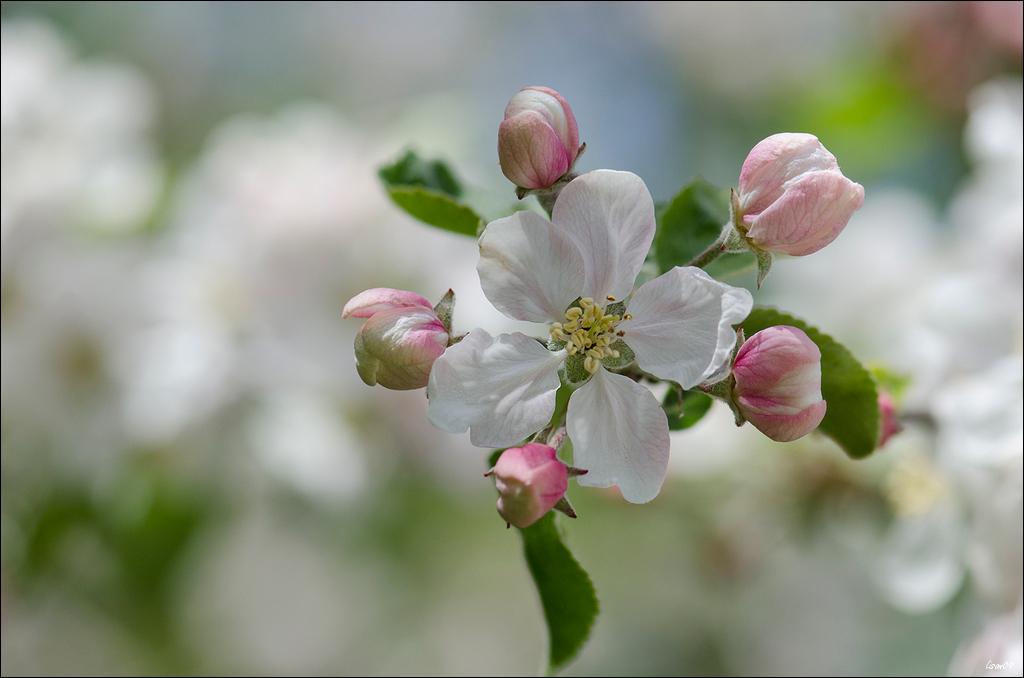 Fleur de pommier Lmb_6510