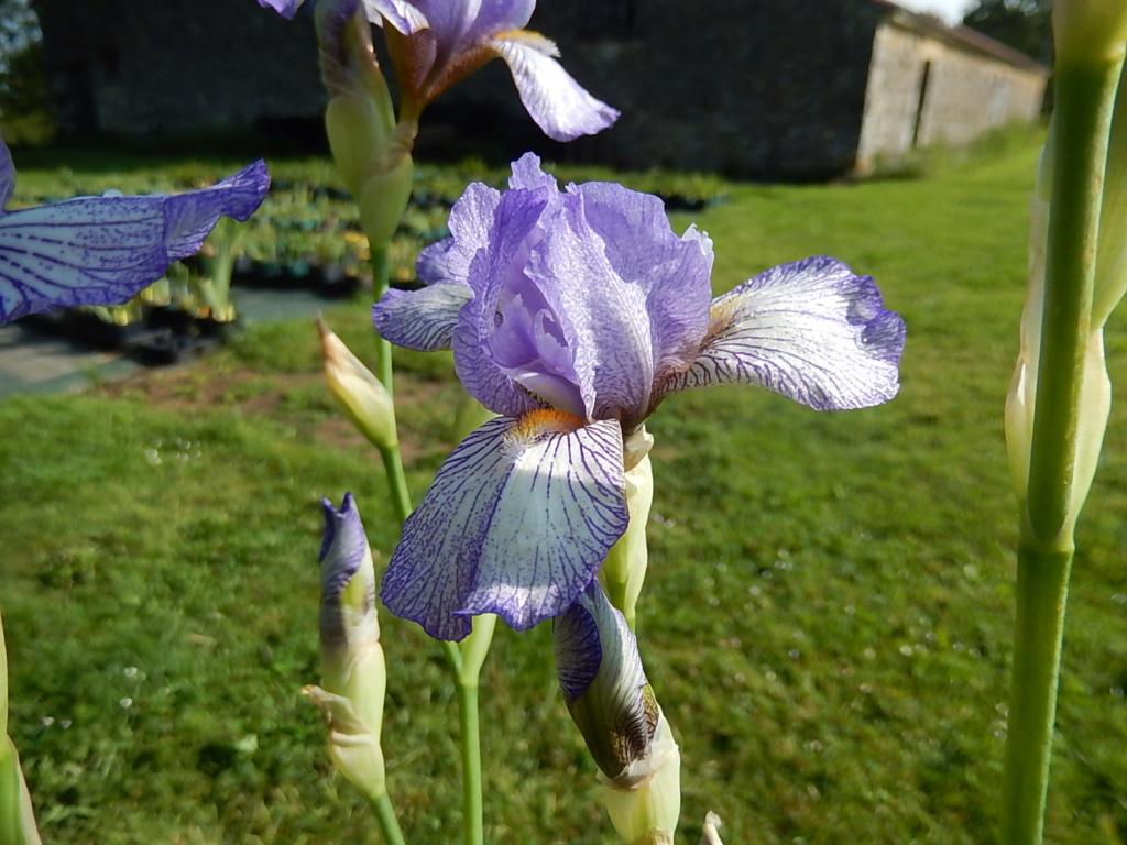 Iris 'Garden Standout' - Kennet Fisher 2016 Garden13