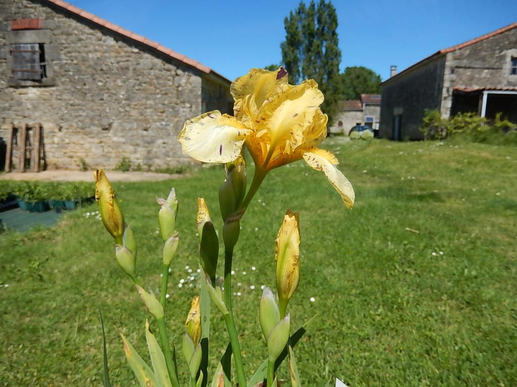 Iris ' Gesundheit ' - Bunnel 2011 Geshun13