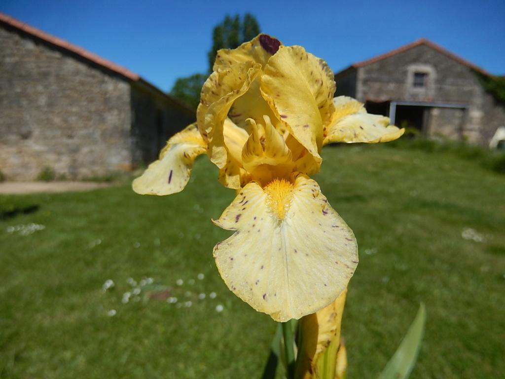 Iris ' Gesundheit ' - Bunnel 2011 Geshun14