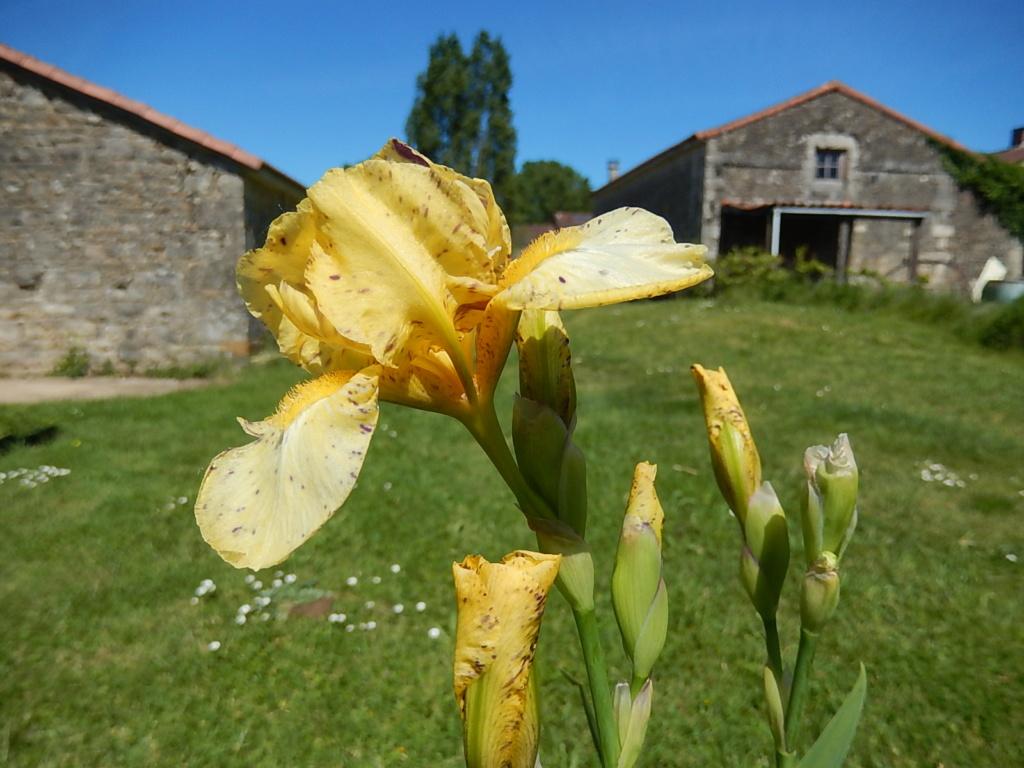 Iris ' Gesundheit ' - Bunnel 2011 Geshun15