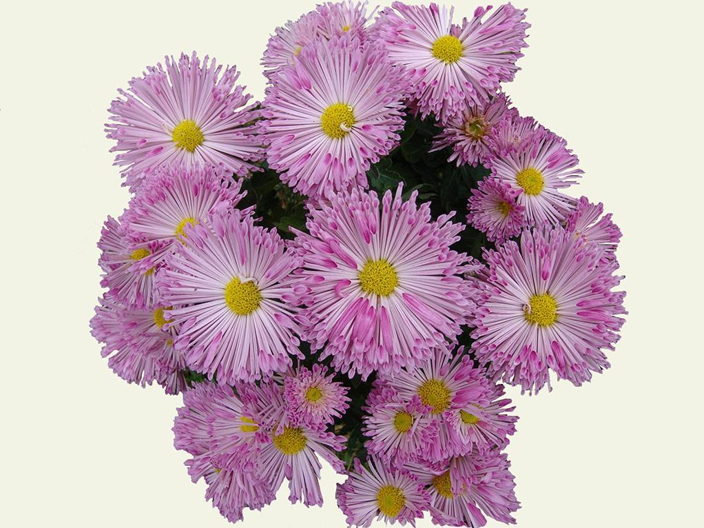 """Chrysanthemum """"Pignouf"""" (pas tant que ça!) Pignou10"""