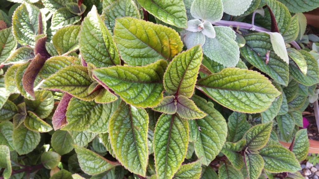 Plectranthus ciliatus - [identification] Plante11