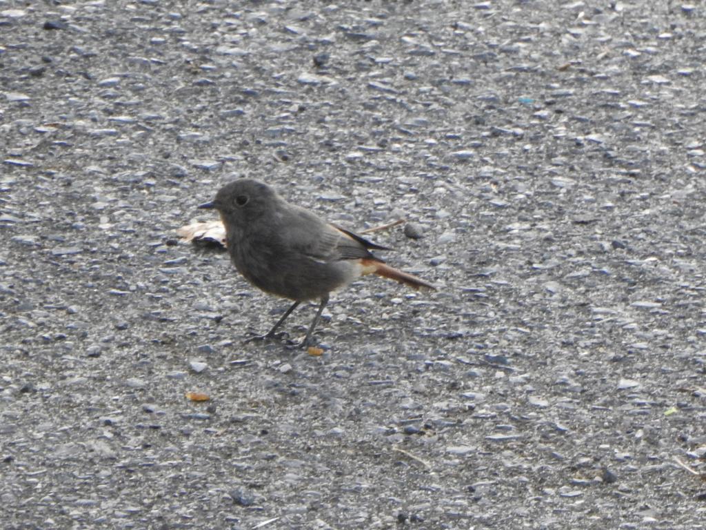 Ajuda na ID - passeriformes Dscn4010