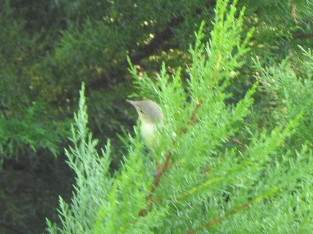 Ajuda na ID - passeriformes Dscn4012