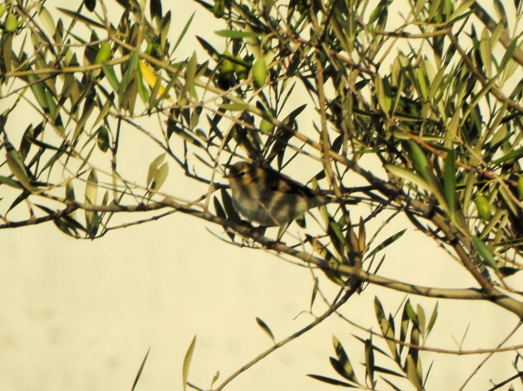 Ajuda na ID - passeriformes Dscn4013