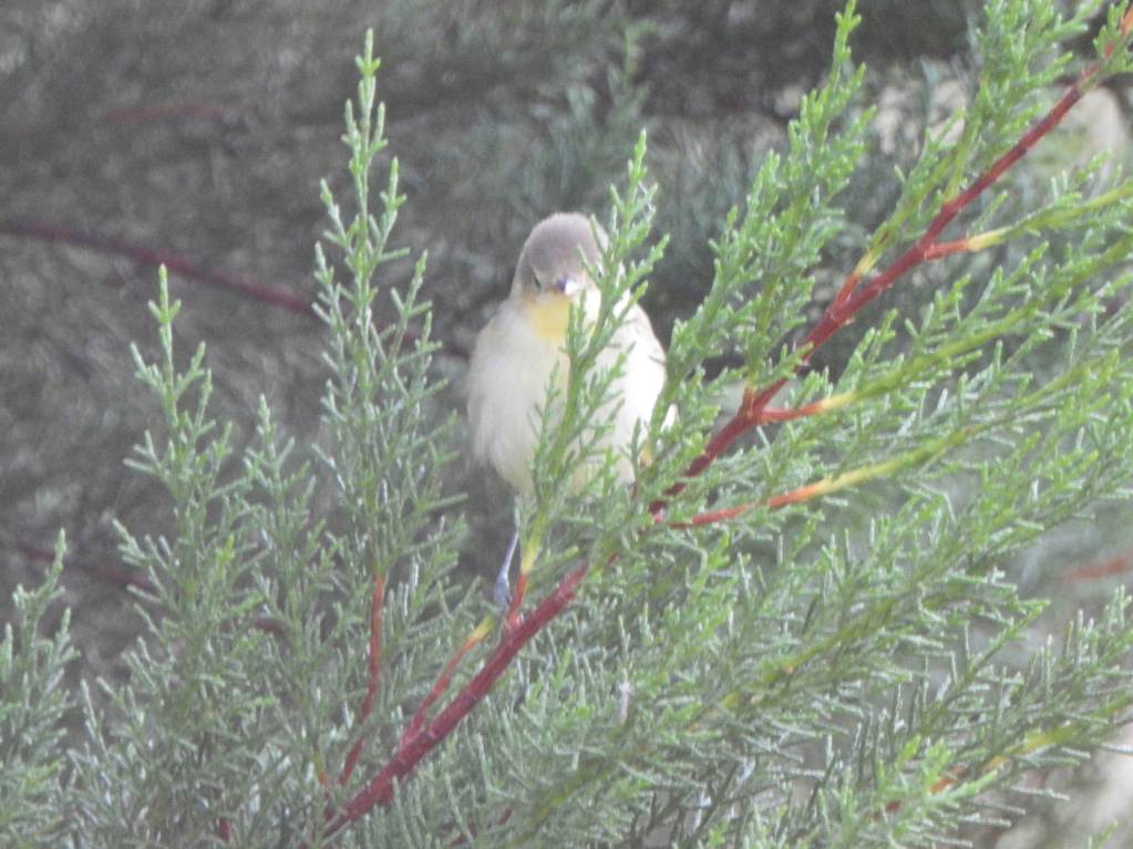 Ajuda na ID - passeriformes Dscn4014