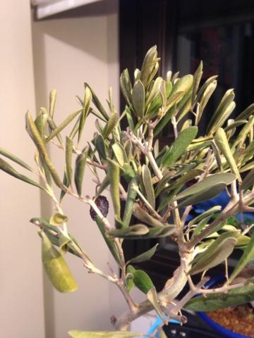 Otro olivo pocho Img_3012