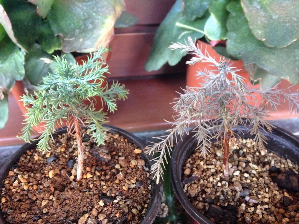 Sequoia con tonos raros Img_3111