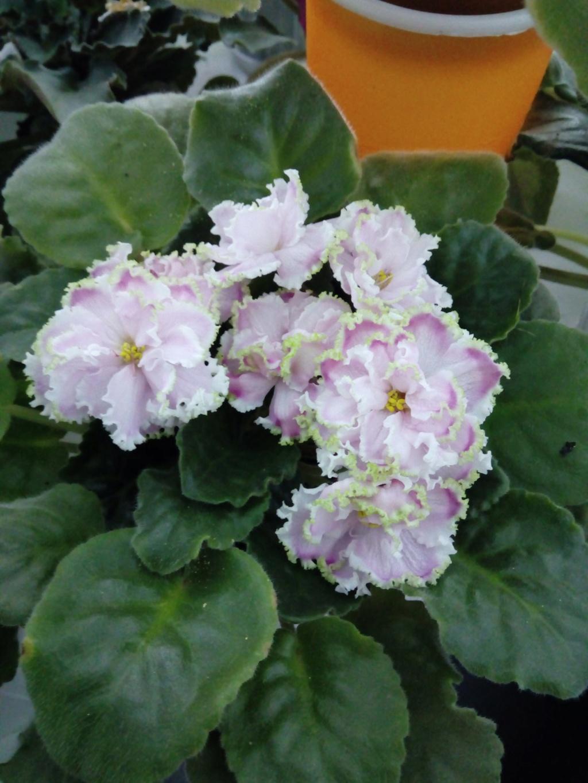 Моё цветочное богатство - Страница 33 Img_2017