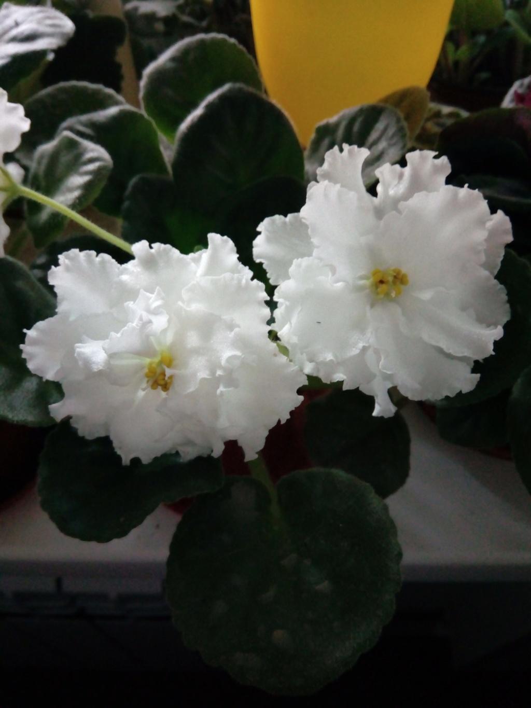 Моё цветочное богатство - Страница 33 Img_2020