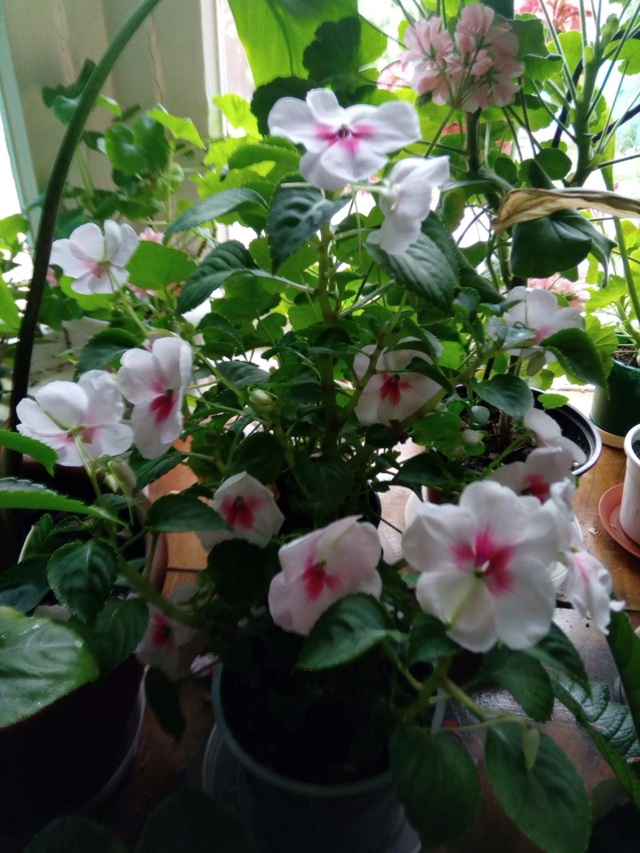 Моё цветочное богатство - Страница 35 Img_2026