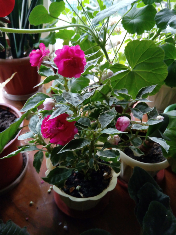 Моё цветочное богатство - Страница 35 Img_2027