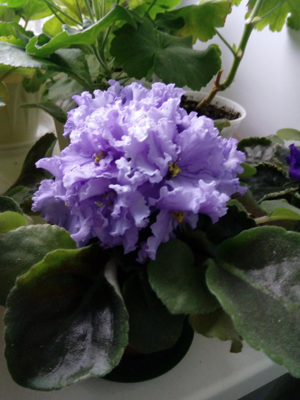 Моё цветочное богатство - Страница 35 Img_2029