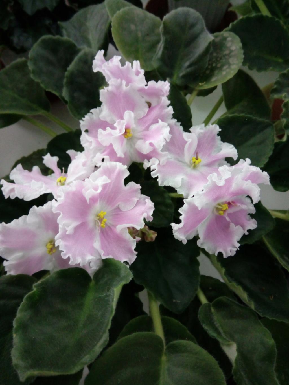 Моё цветочное богатство - Страница 35 Img_2032